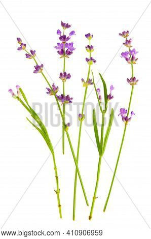 Lavender Flowers Bundle On A White Background.