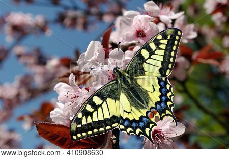 Swallowtail Butterfly On A Branch Of Blooming Pink Cherry. Blooming Pink Sakura And Butterfly. Sprin
