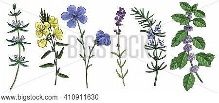 Vector Drawing Rosemary Plant, Mentha Piperita, Linum, Oenothera And Lavender , Hand Drawn Illustrat