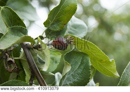 Diseases Of The Apple Tree. Apple Ovary Dead On The Branch. Anthracnose On The Leaves. Agricultural
