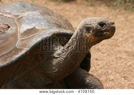 The Gala¡Pagos Tortoise
