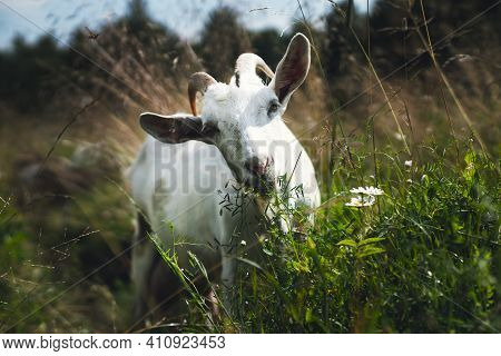 Goat In A Dense Green Field Eating Grass. Goat On A Green Spring Meadow In A Sunny Day