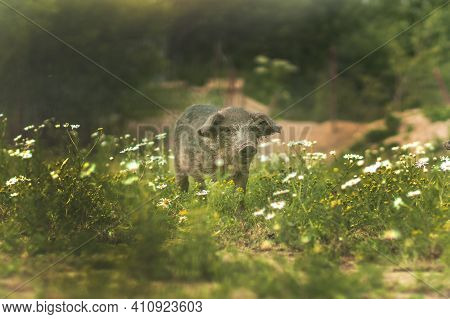 Pig Of The Hungarian Mangalitsa Walk In A Meadow Among Daisies. Piglet In A Field Among Green Grasse