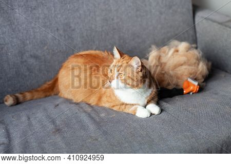 A Ginger Red Cat On A Gray Couch Next To A Pile Of His Fur After Combing Out With A Furminator. Seas