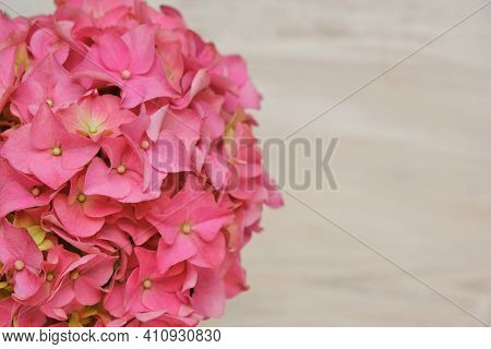 Hydrangea Pink Flowers Close-up On Beige Shabby Chic Background.copy Space.floral Card Blank. Spring