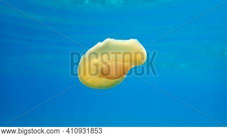 Very Little Mediterranean Jellyfish, Mediterranean Jelly Or Fried Egg Jellyfish (cotylorhiza Tubercu