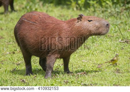 Capybara In The Pantanal, Brazil, South America