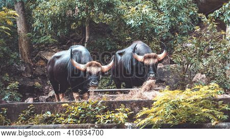 Two Black Buffalo Eating Grass In The Jungle. Big Black Bulls Looking To The Camera. Animal Wildlife