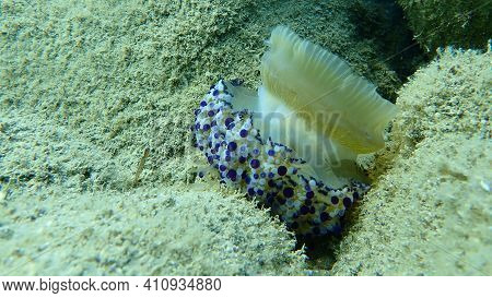 Wounded Mediterranean Jellyfish, Mediterranean Jelly Or Fried Egg Jellyfish (cotylorhiza Tuberculata