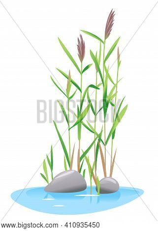 Common Reed Plant Grow Near The Water Isolated Illustration, Water Plants For Decorative Pond In Lan