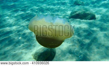 Dead Mediterranean Jellyfish, Mediterranean Jelly Or Fried Egg Jellyfish (cotylorhiza Tuberculata) U