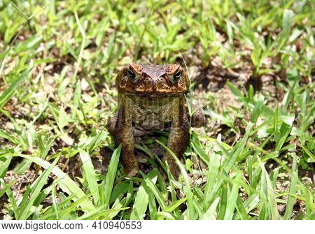 Front view of a cane toad, Barbados, Caribbean. Latin name Bufo Marinus