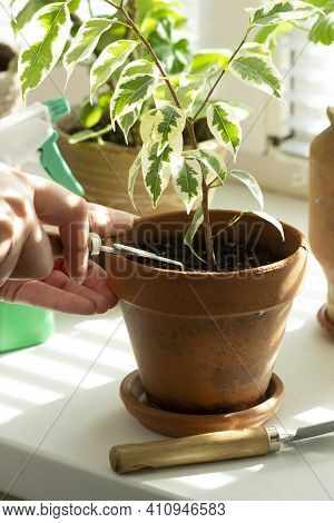 A Woman Loosens The Soil In Flower Pots. Indoor Plants On The Windowsill.