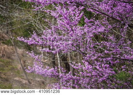 Eastern Redbud Tree, Cercis Canadensis, Native To Eastern North America Shown Here In Full Bloom In