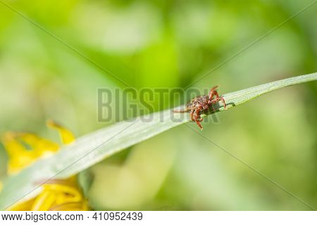 A Small Brown Tick Sits On The Grass In The Bright Summer Sun During The Day. Dangerous Blood-suckin