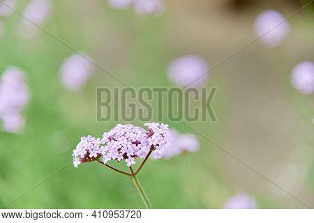 Verbena Bonariensis Flowers Argentinian Vervain Or Purpletop Vervain, Clustertop Vervain, Tall Verbe