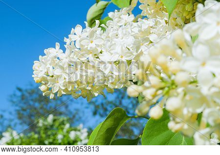 Flower landscape, flower background. Lilac flowers, spring background with white lilac flowers blooming in the sunny garden, flower garden in spring day, white lilac flowers, lilac flowers in bloom