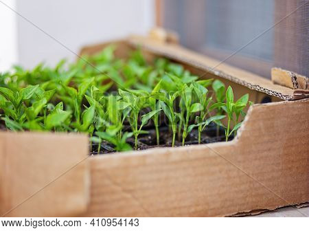 The Spring Planting. Early Seeds Of Pepper, Grown From Seeds In Boxes At Home On The Windowsill. The