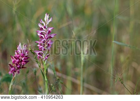 Giant Orchid, Himantoglossum Robertianum, Wild Orchid, Cyprus