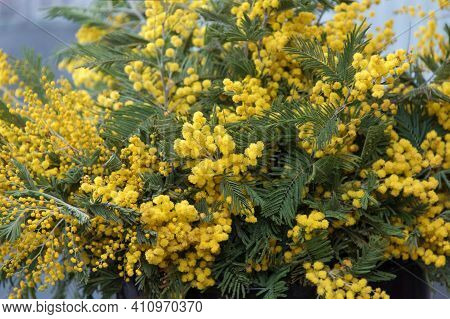 Bright Spring Mimosa Flowers. Festive Spring Season Concept. Symbol Of 8 March, Women's Day. Mimosa