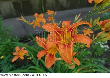 Florescence Of Orange Hemerocallis Fulva In Mid June