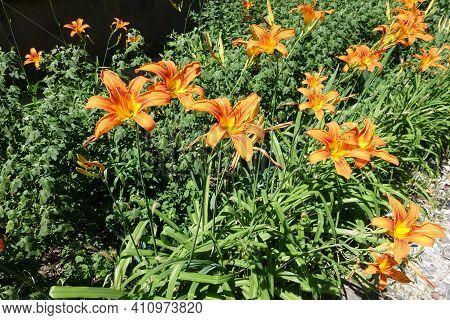 Not A Few Orange Flowers Of Hemerocallis Fulva In Mid June