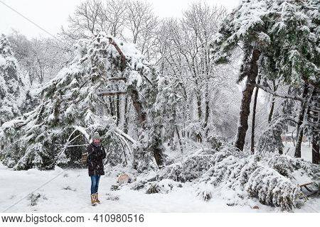 Young Woman Standing Near Falling Fir And Pine Trees After Sleet Load And Snow At Snow-covered Winte