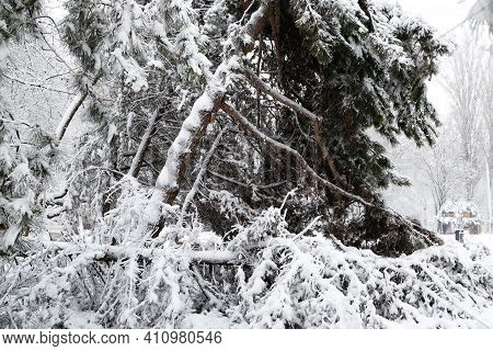 Falling Fir And Pine Trees After Sleet Load And Snow At Snow-covered Winter Street In A City. Weathe