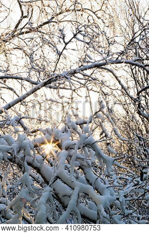 Close Up Of Branches Of Trees Covered With Ice And Snow With Sun At The Background, Sleet Load. Weat
