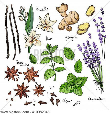 Color Herbs. . Herb Drawn Black Lines On A White Background. Vector Illustration. Vanilla, Mint, Gin