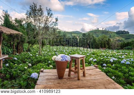 The Beautiful Scenery Of The Hydrangea Flower Field With A Lone Chair And Flower Basket At Khun Pae,