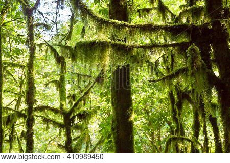 Beautiful Landscape With Forest Jungle Trees. Wonderland Fairy Tale Scenery Trees Covered  Moss