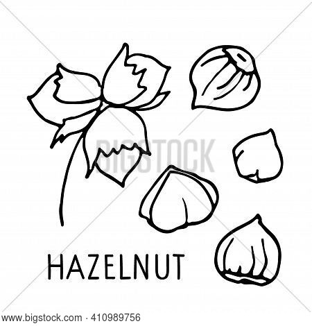 Hazelnut Collection. Hand Drawn Vector Nuts, Nut Kernels And Hazelnut Text. Doodle Linear Sketch. Or