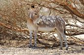 African wild ass in the reserve Hai-Bar Yotvata in southern Israel. poster