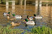 Mallard ducks on Gacka river spring in Majerovo vrilo Lika Croatia poster