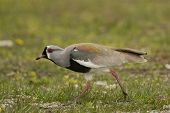 Southern lapwing on the grass. Typical bird of South America also called Tero (Vanellus Chilensis) poster