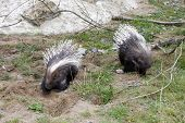 Two little porcupines in a rugged enclosure poster