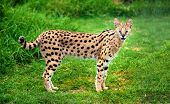 An alert serval cat fixes its eyes and ears on a central point. poster