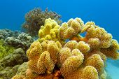 coral reef with great yellow soft coral at the bottom of tropical sea -underwater photo poster