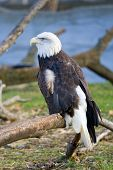 Portrait of a Bald Eagle sitting on a tree branch. poster