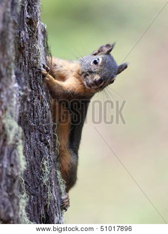A Douglas Squirrel posing on a tree trunk poster