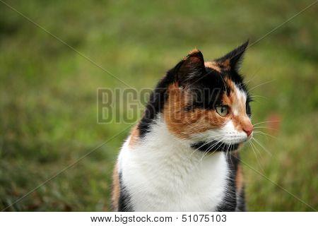 Beautiful Calico Cat In Grass