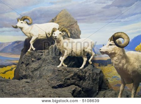 Thinhorn Sheep Trio