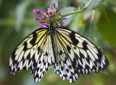 Black and White Rice Paper or Paper Kite Butterfly Idea Leuconoe on Pink Flowers with Wings Outstretched poster