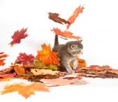 A gray kitten with fall leaves on a white background poster