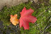 red and yellow maple leaves in autumn poster