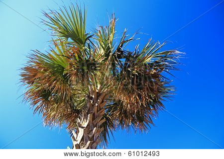 Palmetto Tree And Blue Sky