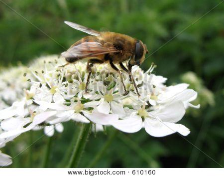 Bee Feeding
