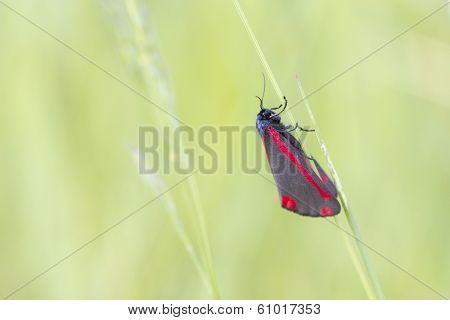 Cinnabar Moth  (tyria Jacobaeae)