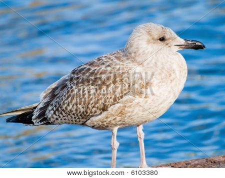 Young Seagull
